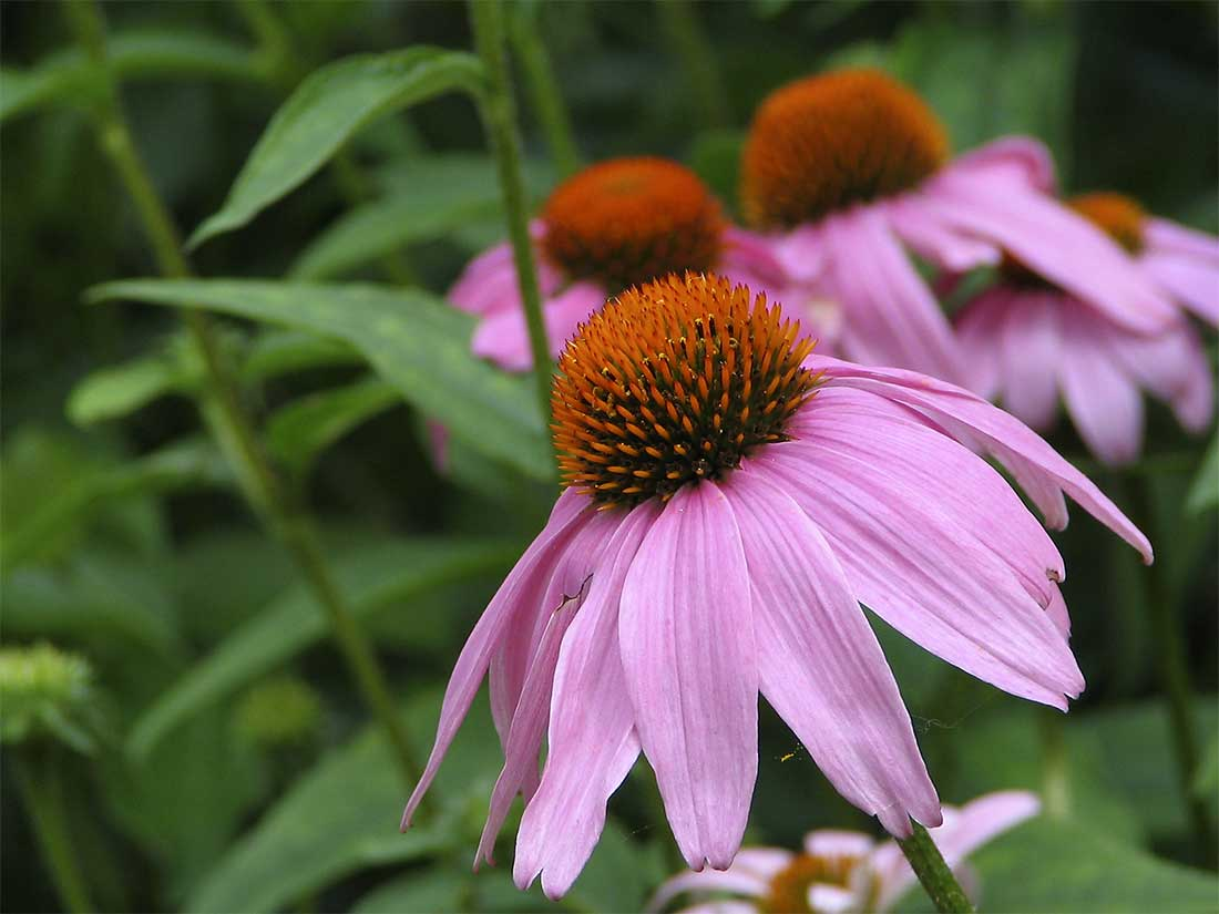 Best perennial flowers for your garden best perennial flowers for your garden picture izmirmasajfo Images